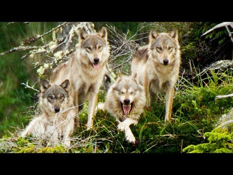 Wolves Save Their Grandmother From Starving | Natural World: Ghost Bear | BBC Earth