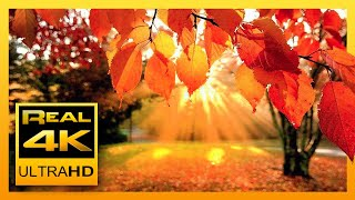 Download 4K Autumn Forest & Relaxing Piano Music - Beautiful Fall Leaf Colors in 4K UHD - 2 Hours Mp3 and Videos