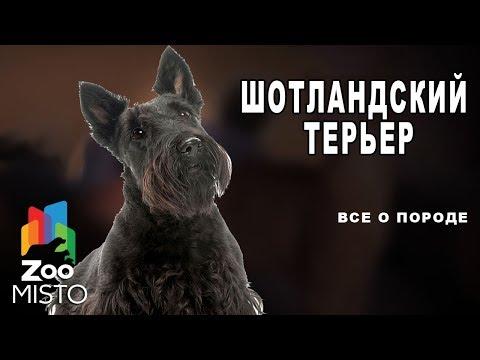 Шотландский терьер - Все о породе собаки | Собака породы шотландский терьер