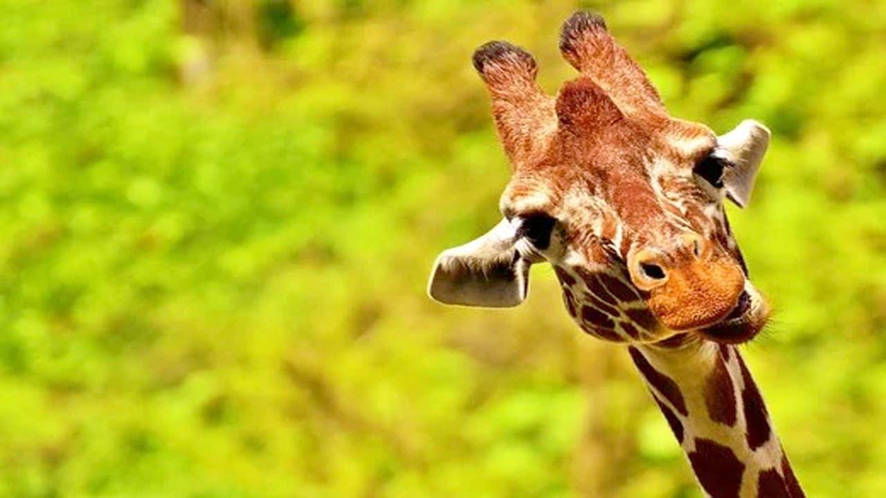 Download Best Giraffe Videos Compilation 🦒😂 [Funny Pets]