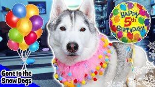 Happy Birthday Memphis the Husky | Memphis