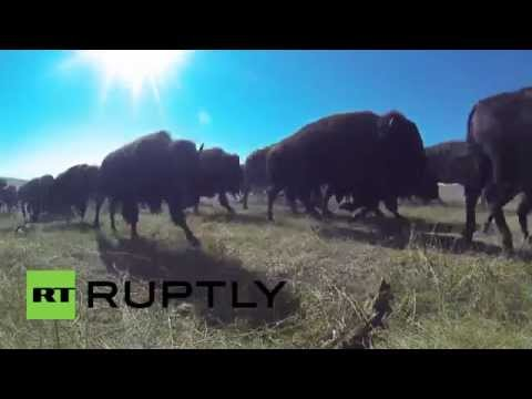 USA: Watch 1,300 buffalo pound through Custer State Park at annual Roundup