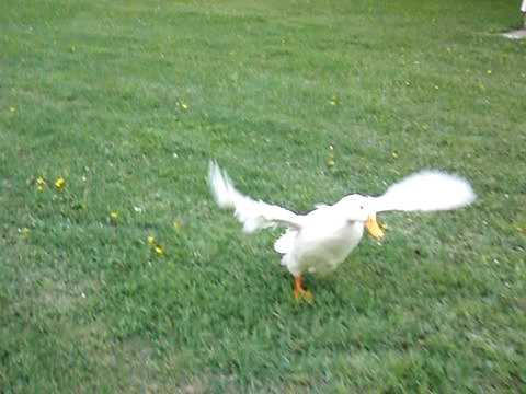 Ducks Flying in Slow Motion