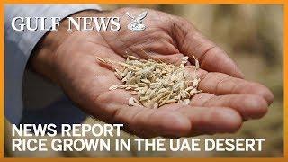 Rice grown in the UAE desert