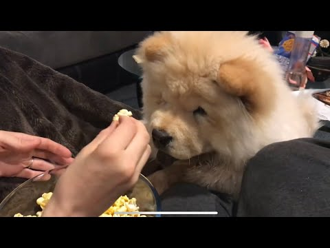 Chow chow eating popcorn