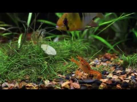 CPO Mexican Dwarf Crayfish, Ghost Shrimp And Blue Ram