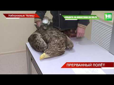 Орлана-белохвоста обнаружили на окраине Набережных Челнов