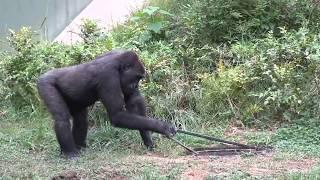 シャバーニ家族 391 Shabani family gorilla