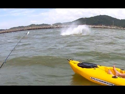 Boto dando uma voltinha no molhe de Itajaí - SC... Pesca com caiaque