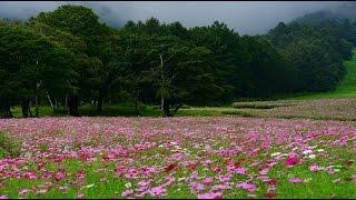 コスモスやダリアの花が咲く黒姫高原コスモス園・4K撮影