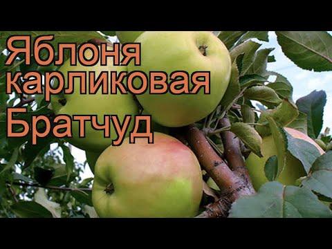 Яблоня карликовая Братчуд (malus bratchud) 🌿 яблоня Братчуд обзор: как сажать саженцы яблони Братчуд