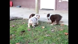 Australian Shepherd Puppies Fo…