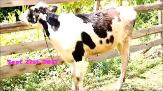 VLOG WEEK#1 IN MY VILLAGE ,FARMHOUSE, VILLAGE FOOD,COWS MOWING| kuja kijijini shamba la wanyama