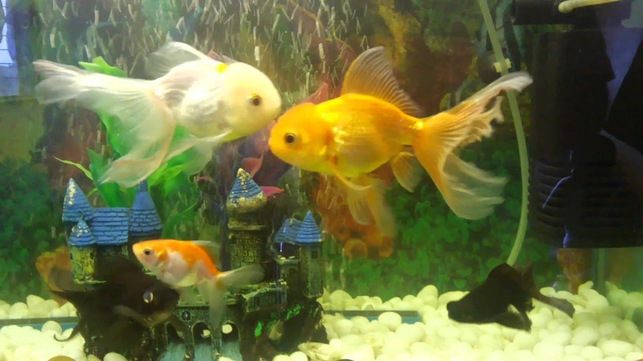 15 gallon gold fish aquarium