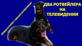 ДВА РОТВЕЙЛЕРА СНИМАЮТСЯ НА ТЕЛЕВИДЕНИИ воспитание и дрессировка собак