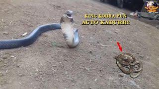 Bisa King Kobra Yang Sangat Berbahaya Masih Kalah Dengan Bisa Ular Kecil ini! Spesies Pemusnah Ular