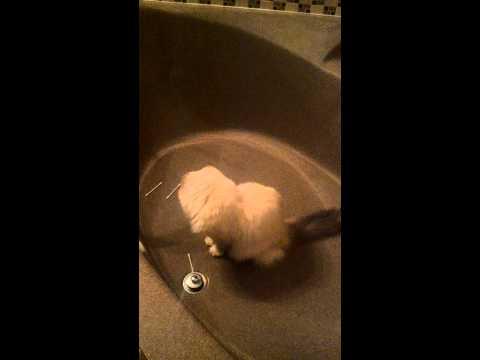 Ragdoll Cat Q-tip combat training