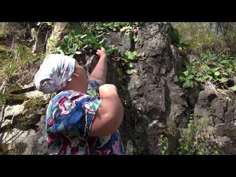 Чай из бадана: польза и вред, лечебные свойства и