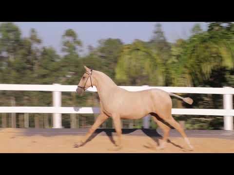 Lote 05  -Providência Aguilar -Cavalos puro sangue Lusitanos - Coudelaria aguilar