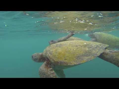 Sea turtles in Ecuador