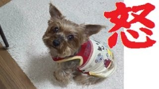 怒 ≒ rage. Angry dog complaining about the chew on the stool & thro...