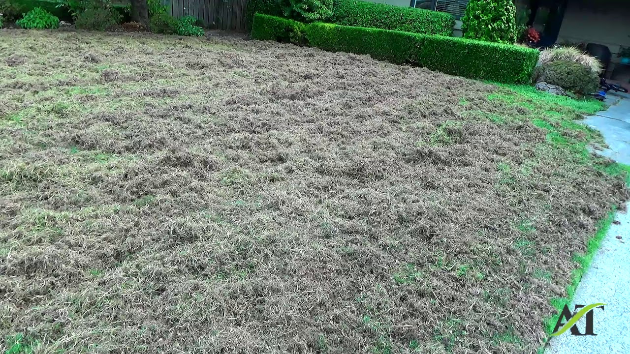 Seattle Lawn Renovation Including Thatching Aerating Seeding And Fertilizing Part 1 You