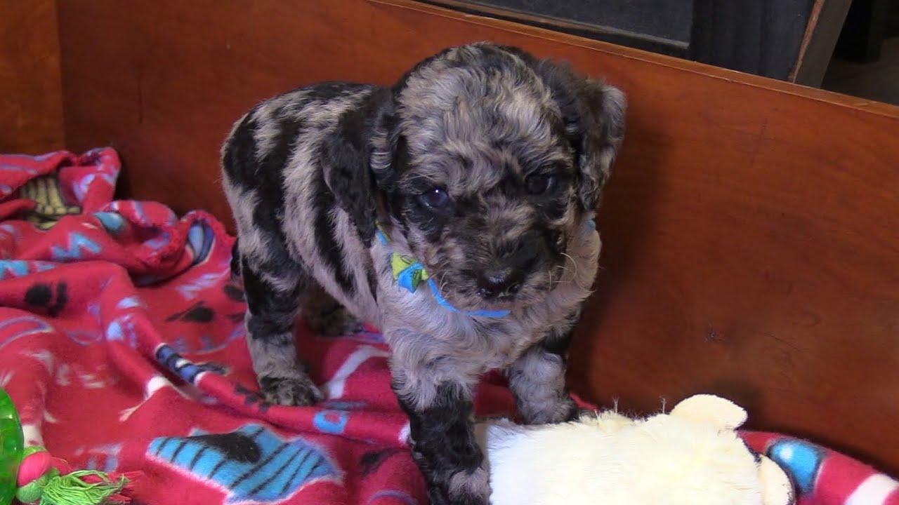 Meg's F1b Mini Goldendoodle Puppies on 7/21/2021