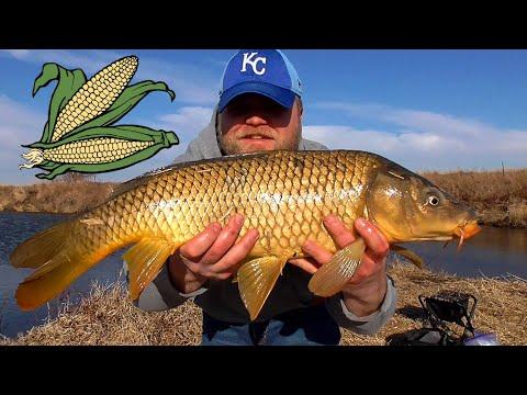 Boiled Feed Corn For Carp Bait (Field Corn) - Simple, Cheap, Effective!