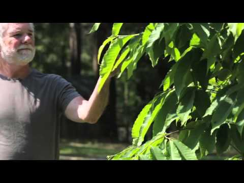 Rolling Stones Keyboardist Chuck Leavell Asks You to Help Restore the American Chestnut