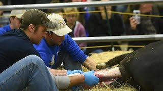 Cow has trouble during labor, farmers jump in to help