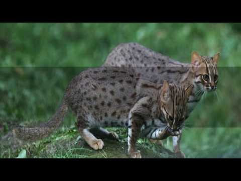 Interesting Rusty spotted cat Facts