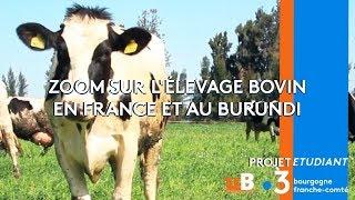 L'impact écologique de l'élevage bovin, de la France au Burundi