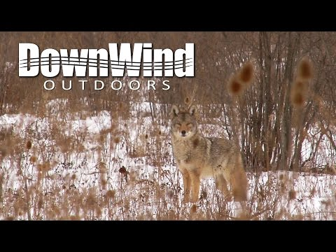 Eastern Coyote Hunting:  Framed (DownWind Outdoors)