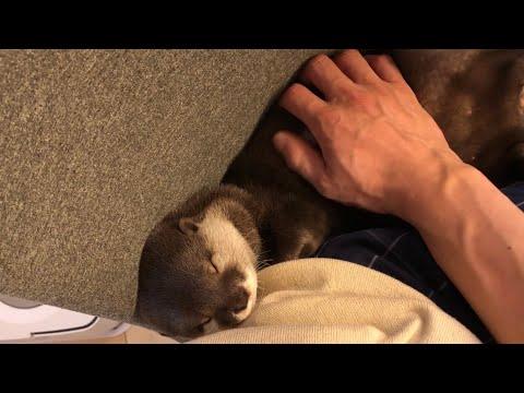 カワウソ��ら む�む�む�む��゚��゚� Soft otter