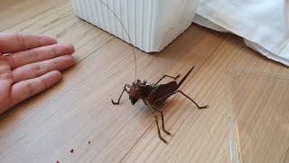 시청주의!!! 14만원에 샀습니다. 레벨999 새도 잡아먹는다는 지구최강 곤충입니다.