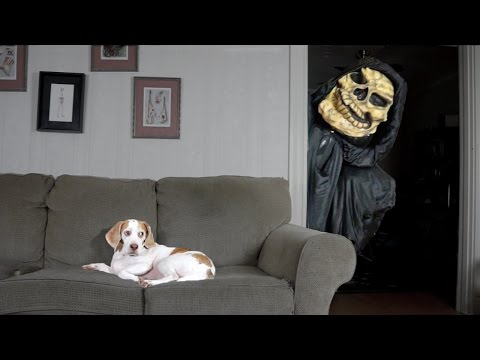 Get Dog Not Scared of Grim Reaper: Funny Dog Maymo Pictures