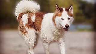 10 Facts About Siberian Husky That You Don't Know | Dogmal