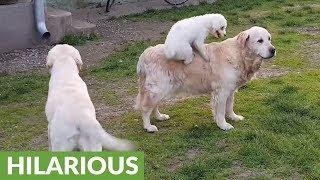 犬on犬、ゴールデンレトリバーを乗りこなす小さなワンちゃん