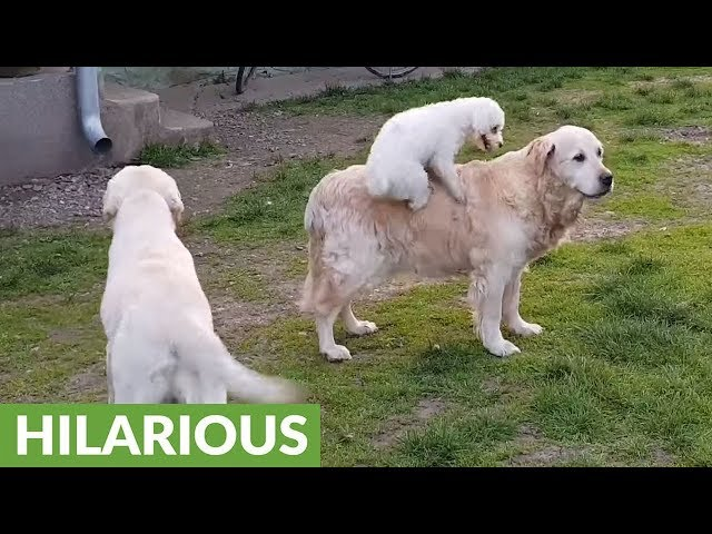 Small dog loves to go for rides on back of Golden Retriever