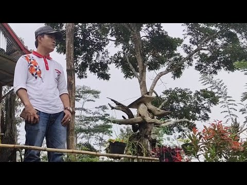 dangdut lampung terbaru – Dangdut Lampung CUAT DACIN ( Cipt. Arifin ) – Music By : SGR Liwa CH – Ridho Channel