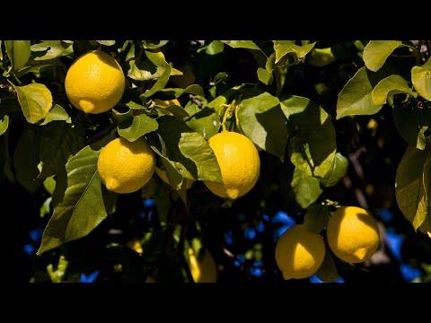 Избавляемся от щитовки.Боремся с щитовкой и паутинным клещом на лимоне.Лечим лимон.легкий способ.