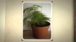 Аспарагус перистый для дома (Asparagus plumosus)