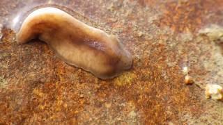 宇治川で見つけたウズムシ