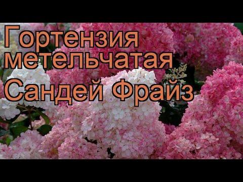 Гортензия метельчатая Сандей Фрайз 🌿 обзор: как сажать, саженцы гортензии Сандей Фрайз