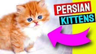 Cute Persian Kittens | Persian Cat Tips
