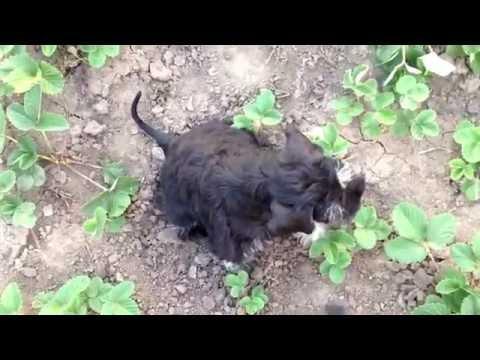 Puppy miniature schnauzer female for sale. d.b. 26.06.2016. Video 11.09.2016