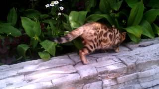 Бенгальский котенок, мальчик. Питомник SHIKARA, Пермь