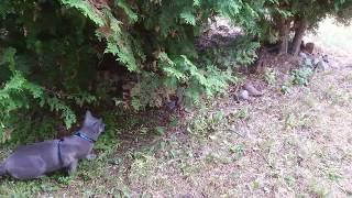 Русский голубой кот 🙀. Охота за вороной. Русский голубой кот.Russian Blue Archangel Blue
