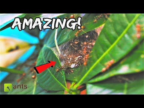 These WEAVER ANT NESTS Will Blow Your Mind