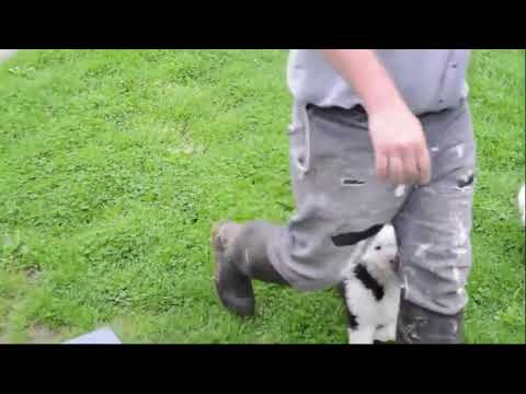 Old English Sheepdog Puppies For Sale Joe Schlabach